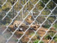 A cheetah lounges on his (her?) stoop at the Smithsonian Conservation Biology Institute in Virginia.